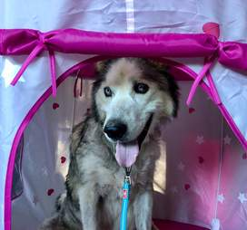 Husky inside little girl's playhouse