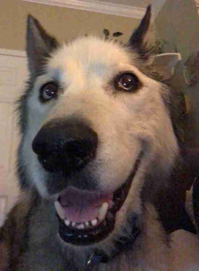 Husky with smiling face