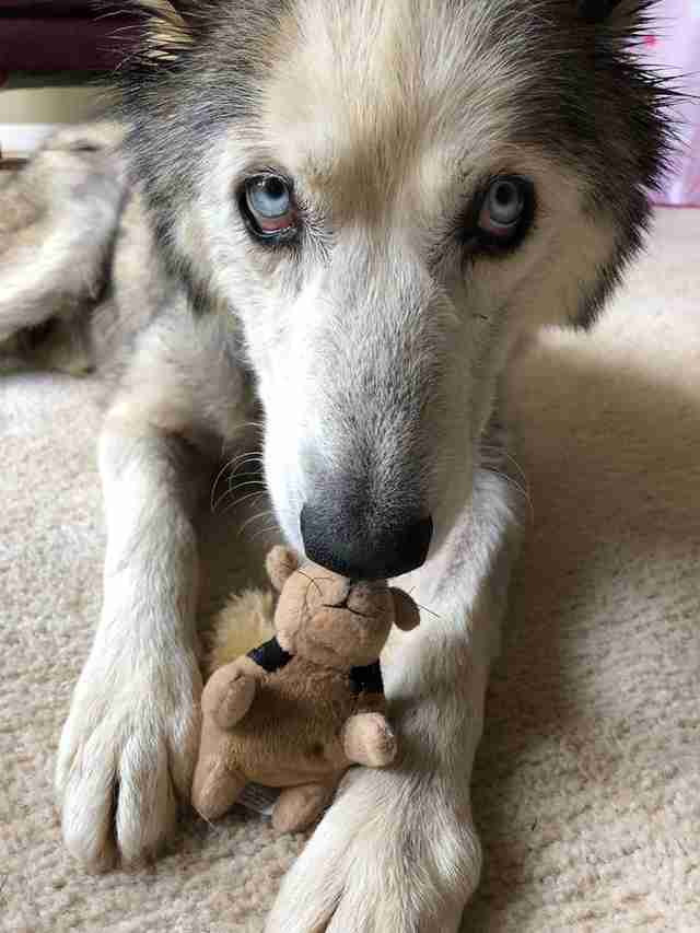 Husky with stuffed animal