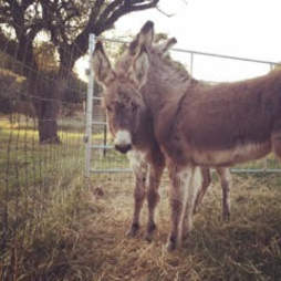 Young donkeys in kill pen in Texas before their rescue