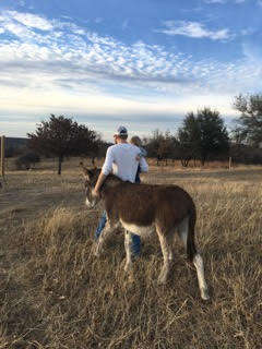 Rescued donkey walking with rescuer in Texas