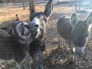 Rescued donkeys smiling at sanctuary in Texas
