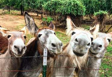 Rescued donkeys at Texas sanctuary