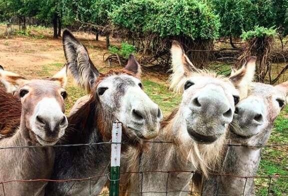 Rescued donkeys at Texas sanctuary