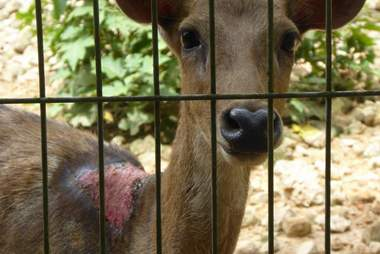 Injured deer in zoo enclosure