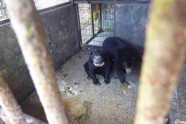 Sun bears inside tiny concrete enclosure