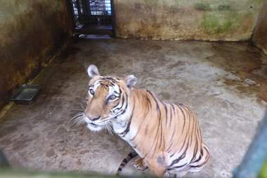 Tiger kept inside concrete enclosure