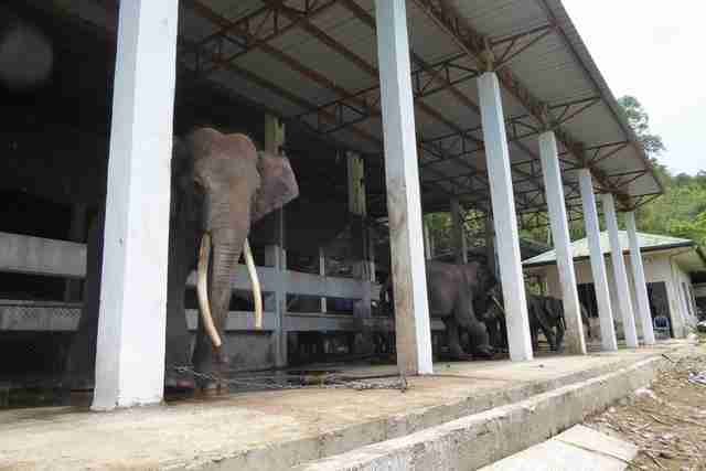 Elephants chained up in concrete enclosure