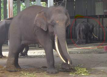 Elephants chained up in enclosure