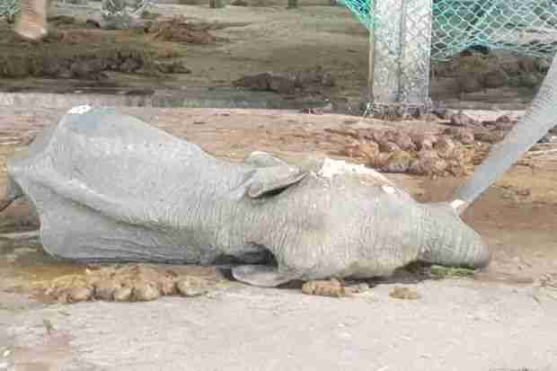Dead elephant lying on ground
