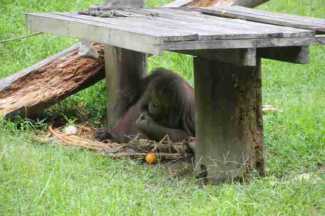 Orangutans hiding beneath platform at zoo