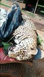 Dead jaguar on back of vehicle