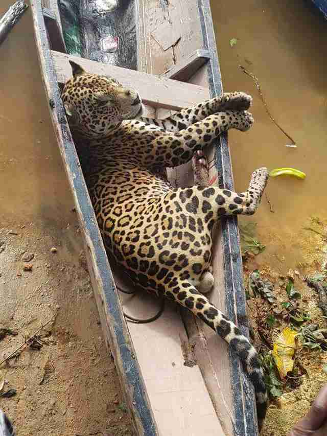 Dead jaguar in back of canoe