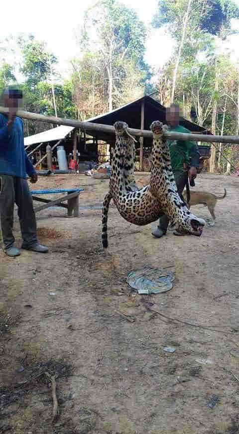 Dead jaguar hanging on pole