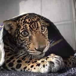 Baby jaguar hiding beneath blanket