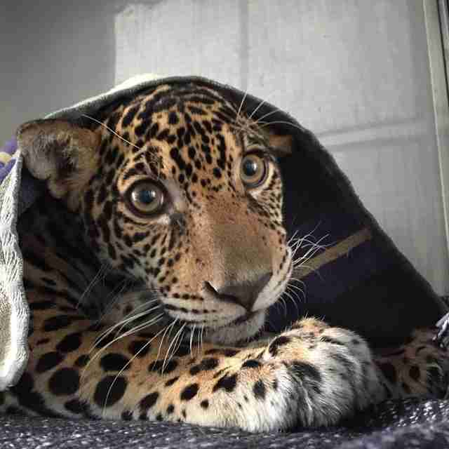 Baby jaguar hiding beneath blanket