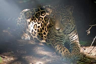 Wild jaguar sitting inside forest
