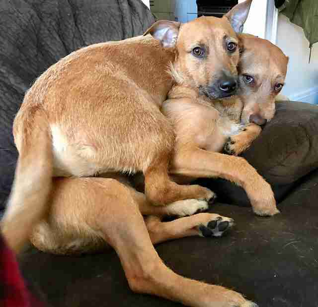 Rescue dogs Rogue and Beast snuggle on the couch