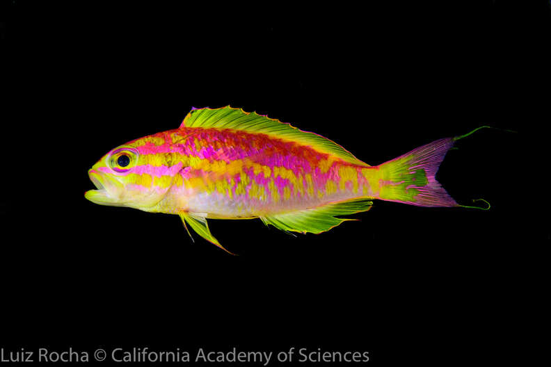 """New species of neon fish discovered in """"twilight zone"""" reef"""