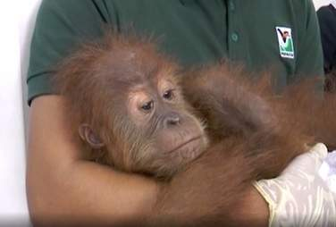 Official holding rescued orangutan baby