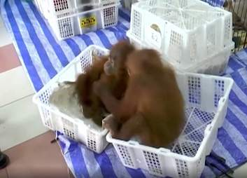 Orangutan babies hugging each other