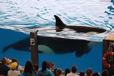 Pregnant orca at marine park