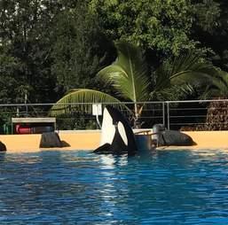 Captive orca inside tank
