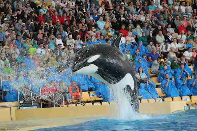 Pregnant orca performing in a show