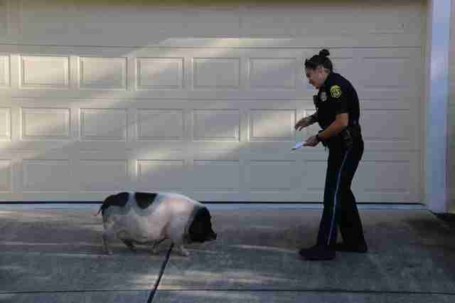 Lost Pig Chases After Cop — And Insists They Become Friends