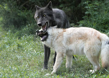 Gray wolves at the Wolf Conservation Center