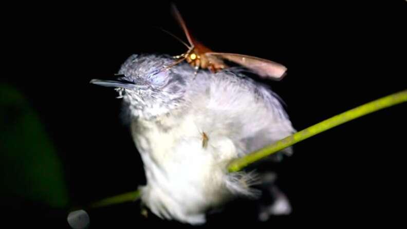 Wild moth drinking tears of sleeping bird in the Amazon rainforest