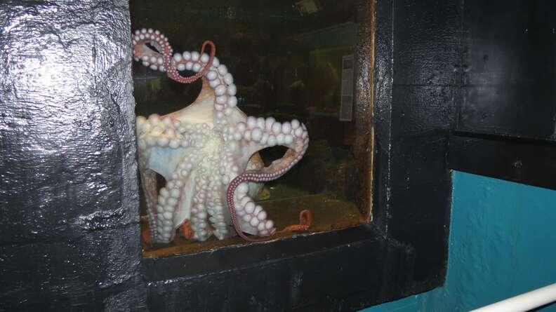 Octopus inside tiny tank