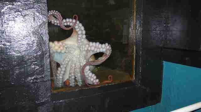 Octopus inside tiny tank
