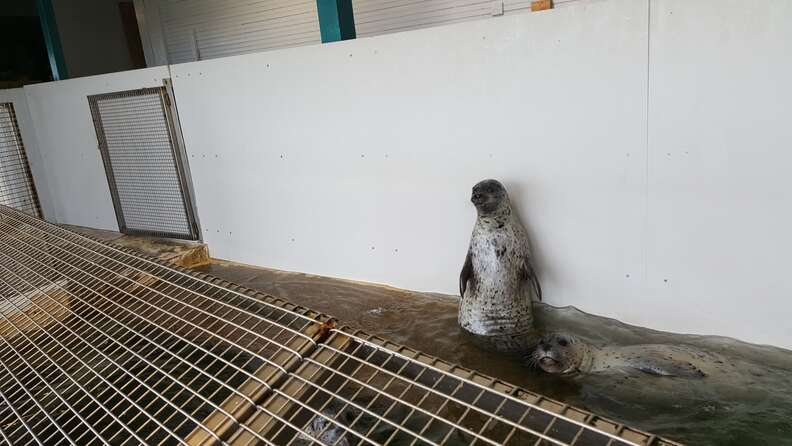 Seals trapped inside tin tank