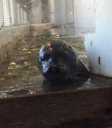 Harbor seal trapped inside tiny tank