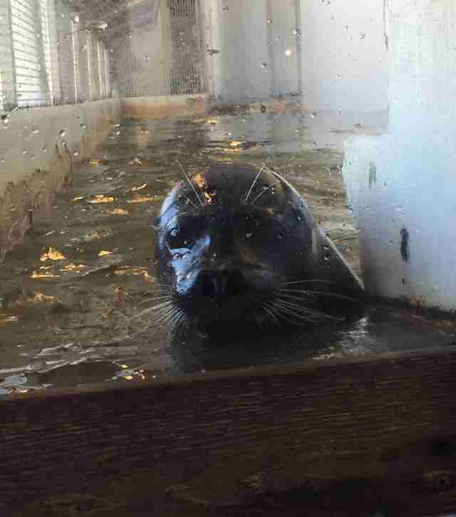 Harbor seal trapped inside tiny tank
