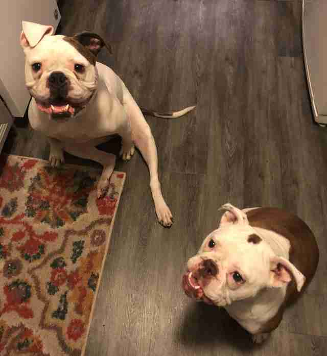 Old English bulldogs, Fern and Juno