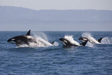 Wild orca family