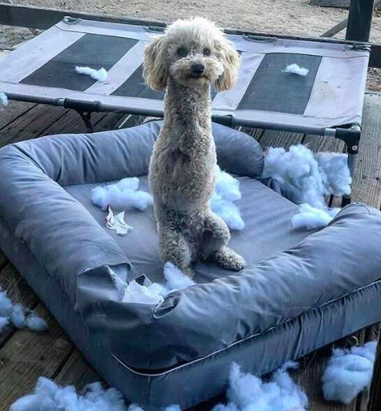 Double amputee rescue dog has fun destroying her bed