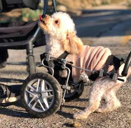 Double amputee rescue dog in wheelchair