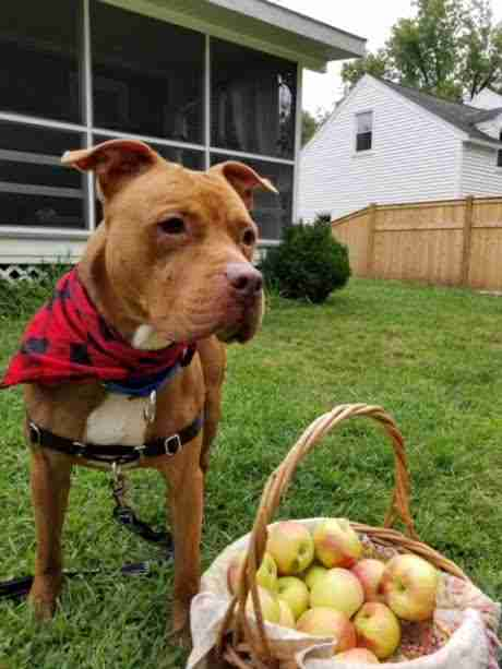 Pit bull standing in yard with apples