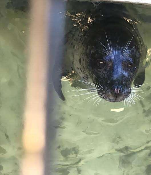 Harbor seal inside tank