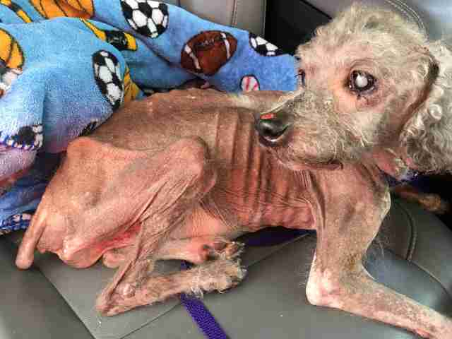 Emaciated, hairless dog lying in back of car