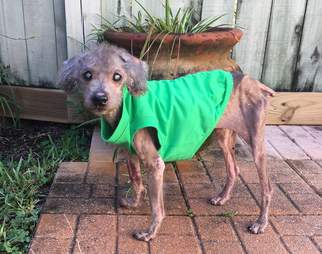 Skinny poodle with green coat on