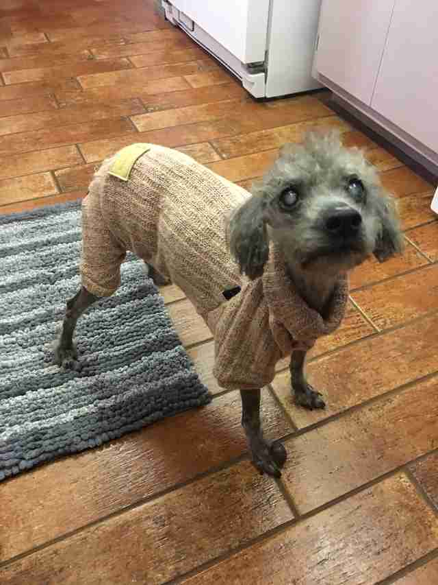 Tiny poodle in sweater