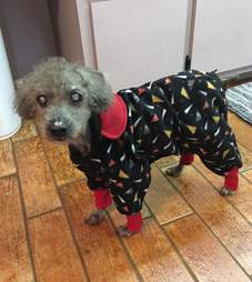 Poodle with pajamas on
