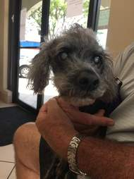 Dark-furred poodle being held in person' lap