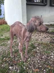 Skinny, sick poodle standing in yard