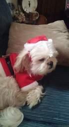 Shih tzu in Santa Christmas suit