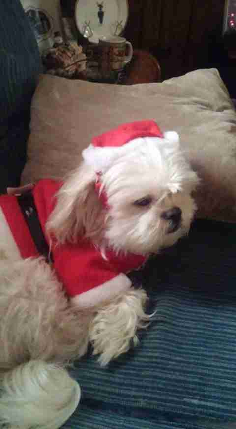 Shih tzu in Santa Christmas suit